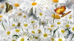 bunch-of-daisy